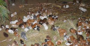 Guinea_pig_stable